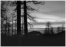 Bare trees in winter and sea of clouds at sunset. Sequoia National Park, California, USA. (black and white)