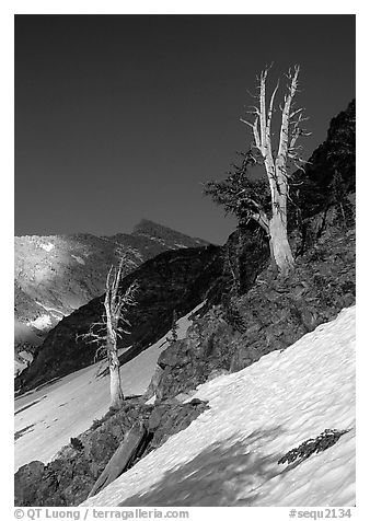 Bare trees above Mineral King, early summer. Sequoia National Park (black and white)