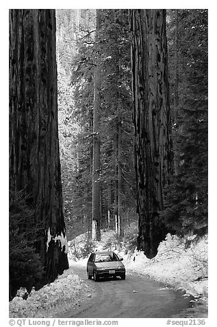 Road and Sequoias in winter. Sequoia National Park (black and white)