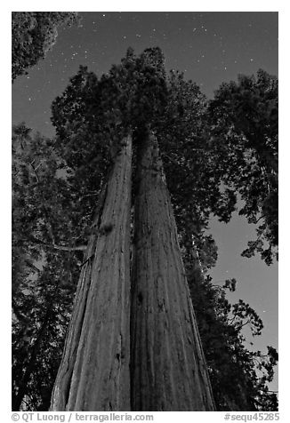 Sequoia trees at night under stary sky. Sequoia National Park (black and white)