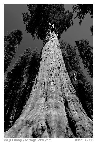 Sequoia named General Sherman, most massive living thing. Sequoia National Park (black and white)
