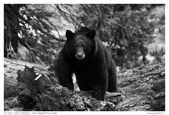 Black bear, frontal portrait. Sequoia National Park (black and white)