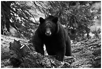 Black bear, frontal portrait. Sequoia National Park ( black and white)
