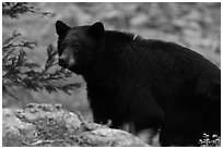 Black bear, Lodgepole. Sequoia National Park ( black and white)