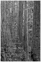 Sequoias forest. Sequoia National Park, California, USA. (black and white)