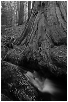 Brook at the base of giant sequoia tree. Sequoia National Park, California, USA. (black and white)