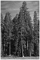 Sequoia trees at the edge of Round Meadow. Sequoia National Park ( black and white)