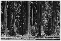 Hiker on boardwalk at the base of Giant Sequoias. Sequoia National Park ( black and white)