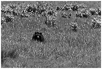 Black bear in Round Meadow. Sequoia National Park, California, USA. (black and white)