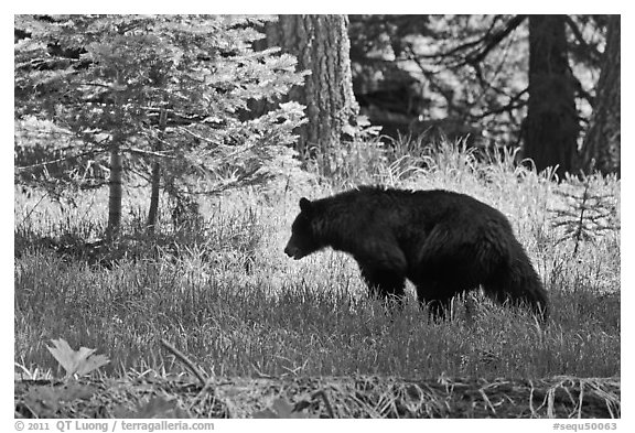 Black bar in forest, Round Meadow. Sequoia National Park (black and white)