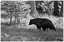 Black bar in forest, Round Meadow. Sequoia National Park ( black and white)