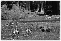 Mother and bear cubs with sequoia trees behind. Sequoia National Park ( black and white)