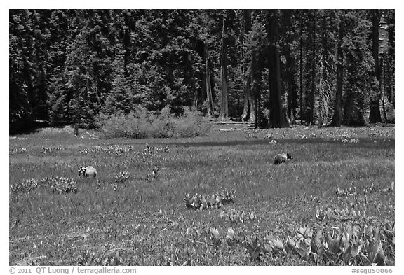 Round Meadow with bear family. Sequoia National Park (black and white)