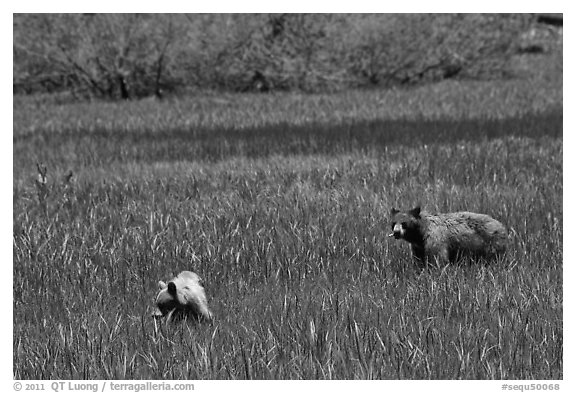 Mother bear and cub grazing in Round Meadow. Sequoia National Park (black and white)