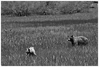Mother bear and cub grazing in Round Meadow. Sequoia National Park ( black and white)