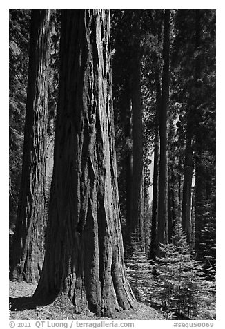 Sunlit sequoia forest. Sequoia National Park (black and white)
