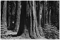 Sunlit sequoia trees. Sequoia National Park ( black and white)