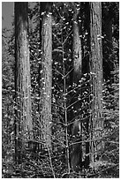 Dogwood in early bloom and sequoia grove. Sequoia National Park ( black and white)