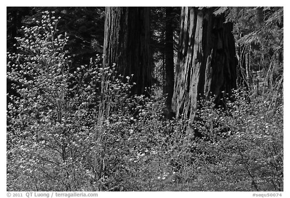 Dogwoods and sequoias. Sequoia National Park (black and white)