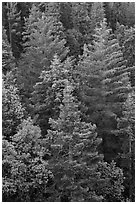 Pine forest canopy. Sequoia National Park, California, USA. (black and white)