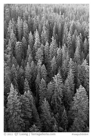 Evergreen forest from above. Sequoia National Park (black and white)