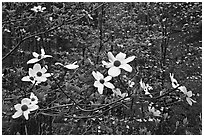 Dogwood flowers. Sequoia National Park ( black and white)