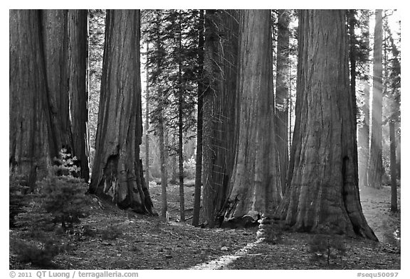 Group of backlit sequoias, early morning. Sequoia National Park (black and white)