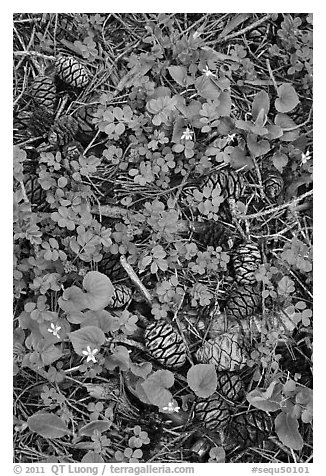 Sequia Forest floor close-up. Sequoia National Park (black and white)