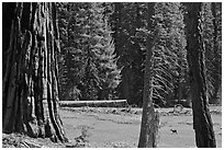 Huckleberry Meadow, sequoia and deer. Sequoia National Park ( black and white)