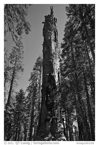 Dead Giant. Sequoia National Park (black and white)