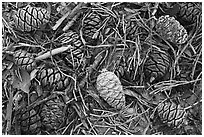 Close-up of cones of the sequoia trees. Sequoia National Park, California, USA. (black and white)