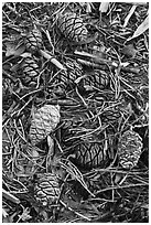 Close-up of fallen sequoia cones. Sequoia National Park ( black and white)