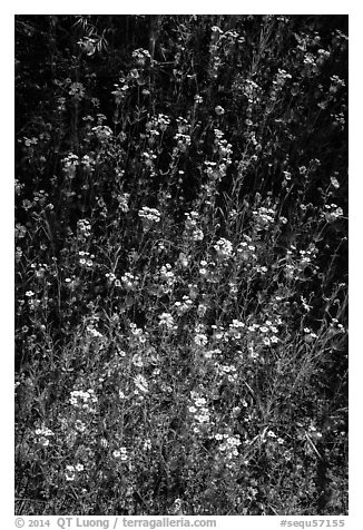White and yellow wildflowers. Sequoia National Park (black and white)