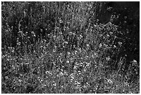 Carpet of yellow and white flowers. Sequoia National Park ( black and white)