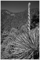 Yucca stem and forested slopes. Sequoia National Park ( black and white)