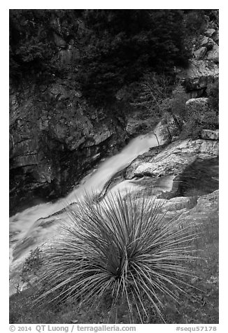 Yucca and gorge of the Kaweah River. Sequoia National Park (black and white)