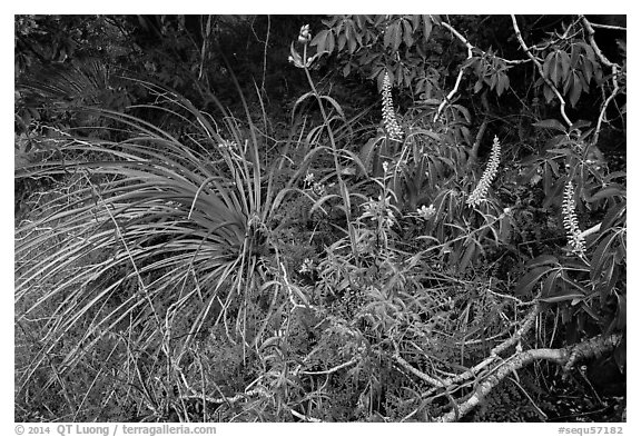 Wildflowers and buckeye blooms. Sequoia National Park (black and white)
