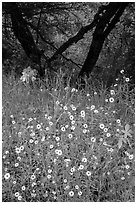 Yellow wildflowers and oaks. Sequoia National Park ( black and white)