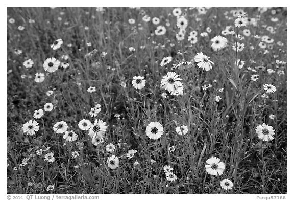Yellow flowers carpetting the ground. Sequoia National Park (black and white)