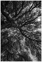 Looking up branches of oak tree and sunstar. Sequoia National Park ( black and white)
