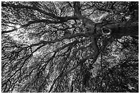 Branches of oak tree in spring and sunburst. Sequoia National Park ( black and white)