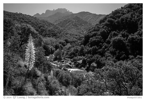 Yucca and Middle Fork of the Kaweah River. Sequoia National Park (black and white)