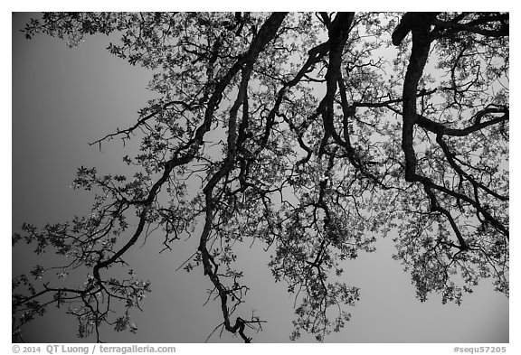 Looking up branches of oak tree with new leaves. Sequoia National Park (black and white)