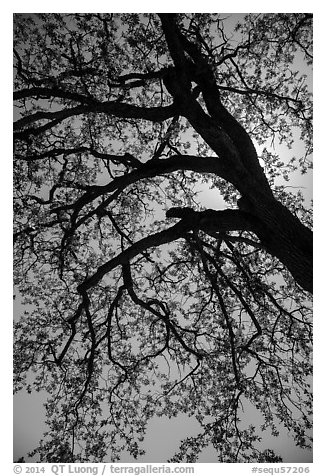 Branches of oak tree with new leaves. Sequoia National Park (black and white)