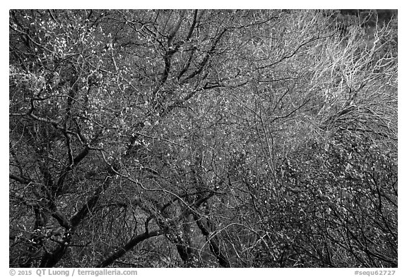 Tangle of bare tree branches and branches with faded leaves. Sequoia National Park (black and white)
