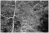 Trees in autumn and Middle Fork of the Kaweah River. Sequoia National Park ( black and white)