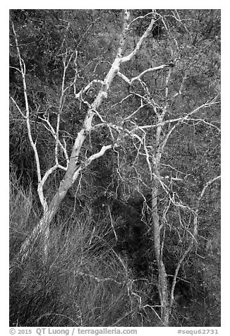 Lightly colored trunks and branches in autumn. Sequoia National Park (black and white)