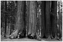 Visitor looking, Parker Group of giant sequoias. Sequoia National Park ( black and white)