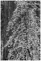 Dogwood in fall foliage and sequoia. Sequoia National Park ( black and white)