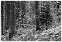 Forest with ferns and dogwoods in autum color. Sequoia National Park ( black and white)